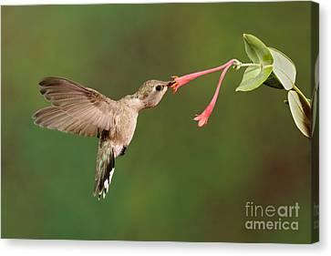 Black-chinned Hummingbird Canvas Print by Scott Linstead