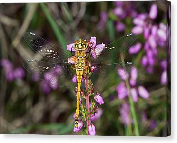 Winged Female Canvas Print - Black Darter Dragonfly by Bob Gibbons