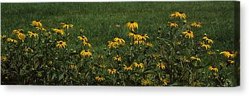Black-eyed Susan Flowers Rudbeckia Canvas Print by Panoramic Images