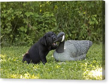 Black Labrador Retriever And Goose Decoy Canvas Print by Linda Freshwaters Arndt