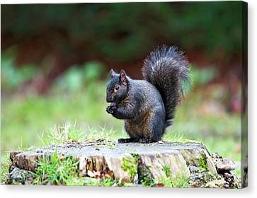Black Squirrel Eating A Nut Canvas Print by John Devries