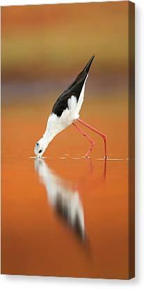 Black-winged Stilt Himantopus Himantopus Canvas Print by Photostock-israel