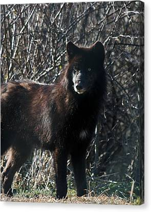 Black Wolf Canvas Print by Neal Eslinger
