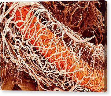 Blood Vessels Supplying A Testis Canvas Print by Susumu Nishinaga