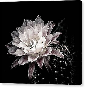 Blooming Cactus Canvas Print by Julie Palencia