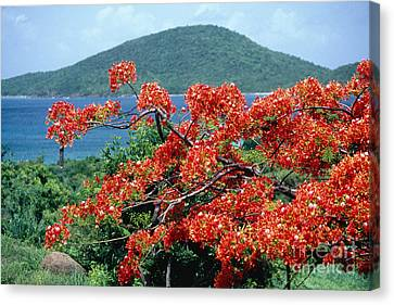 Puerto Rico Canvas Print - Blooming Flamboyan Tree  by George Oze
