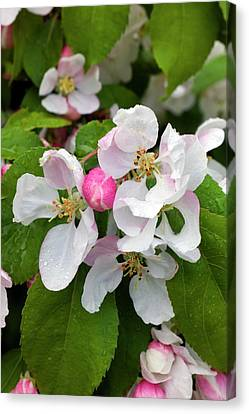 Blossom Of Crab Apple Malus Red Jade Canvas Print by Dr Jeremy Burgess
