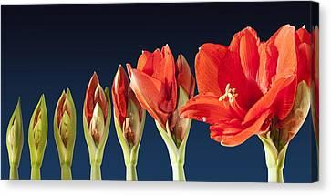 Blossoming Amaryllis Flower Canvas Print by Tilen Hrovatic