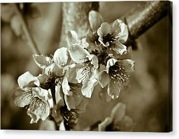 Blossoms Canvas Print by Frank Tschakert