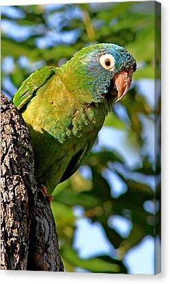 Blue-crowned Parakeet Canvas Print by Ira Runyan