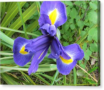 Blue Irises Canvas Print by Joyce Woodhouse