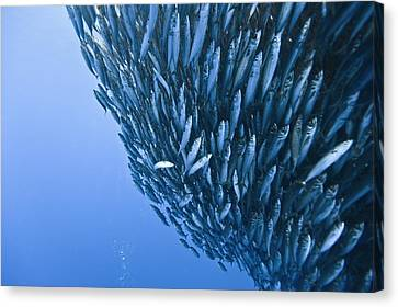 Blue Jack Mackerel Bait Ball Canvas Print by Science Photo Library