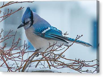 Blue Jay Canvas Print by Phil Abrams