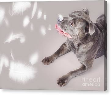 Blue Staffie Dog Watching Floating Feathers Canvas Print by Jorgo Photography - Wall Art Gallery