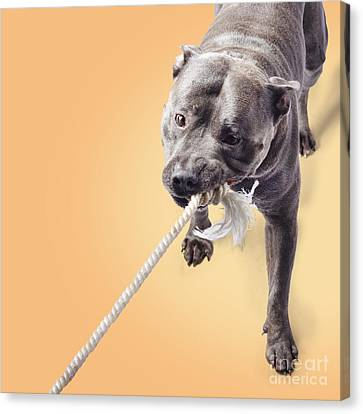 Staffordshire Bull Terrier Canvas Print - Blue Staffie Having A Tug Of War by Jorgo Photography - Wall Art Gallery