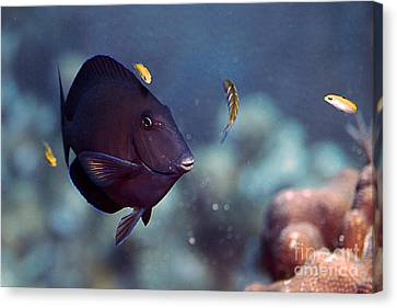 Blue Tang Canvas Print