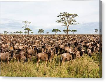 Gnu Canvas Print - Blue Wildebeest Connochaetes Taurinus by Photostock-israel