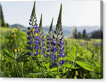 Bluebonnet Lupine _lupinus Canvas Print by Carl Bruemmer