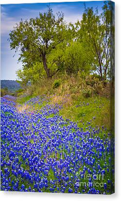 Bluebonnet Meadow Canvas Print