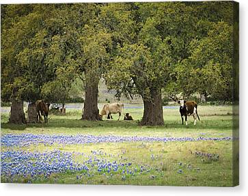 Bluebonnets And Bovines Canvas Print by Debbie Karnes