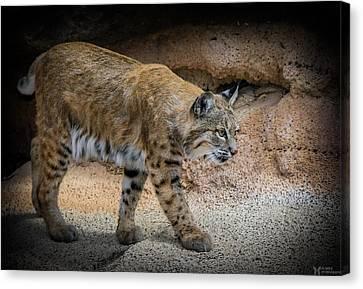 Bobcat Canvas Print by Elaine Malott