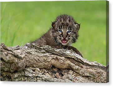 Bobcat Kittens Canvas Print - Bobcat Lynx Rufus Kitten by Debbie Dicarlo