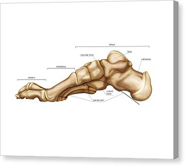 Bones Of The Foot Canvas Print by Asklepios Medical Atlas