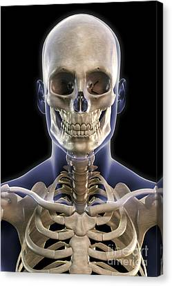 Bones Of The Head And Upper Thorax Canvas Print by Science Picture Co
