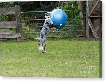 Border Collie Playing Catch Canvas Print by William H. Mullins
