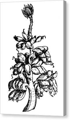 Botany Banana Tree, 1579 Canvas Print