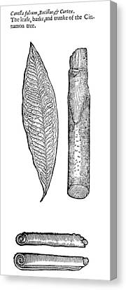 Botany Cinnamon Tree Canvas Print