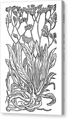 Botany Sea Lavender Canvas Print