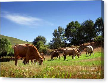 Bovine Cattle  Canvas Print by Carlos Caetano