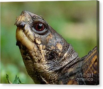 Box Turtle Canvas Print by Jane Ford