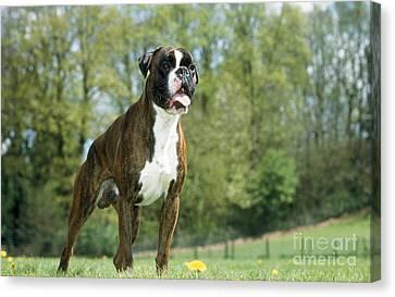 Boxer Dog Canvas Print by Johan De Meester