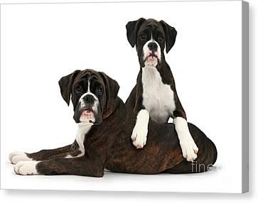 Boxer Pups Canvas Print