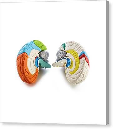 Brain Anatomy Model Canvas Print