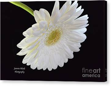 Canvas Print featuring the photograph Bright White Gerber Daisy # 2 by Jeannie Rhode