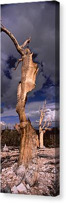 Bristlecone Pine Trees Pinus Longaeva Canvas Print