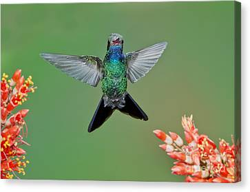 Broad-billed Hummingbird Canvas Print by Anthony Mercieca