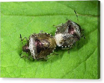 Bronze Shieldbugs Mating Canvas Print