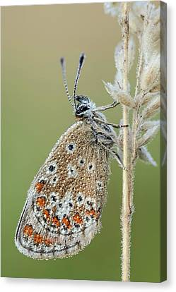 Brown Argus Butterfly Canvas Print by Heath Mcdonald