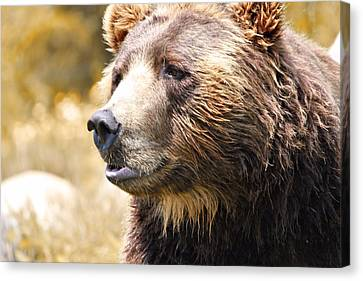 Brown Bear Portrait In Autumn Canvas Print by Dan Sproul