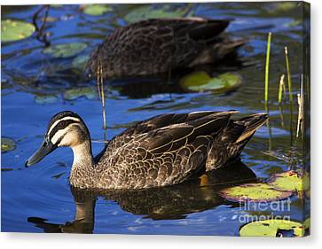 Ducklings Canvas Print - Brown Duck by Jorgo Photography - Wall Art Gallery
