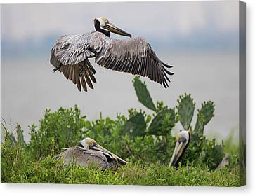 Brown Pelican (pelecanus Occidentalis Canvas Print by Larry Ditto