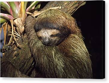 Brown-throated Three-toed Sloth Canvas Print