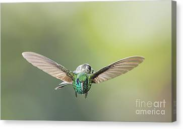Canvas Print featuring the photograph Brown Violet-ear Hummingbird by Dan Suzio