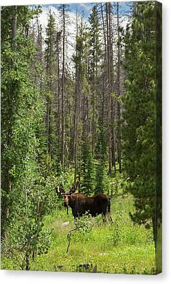 Bull Moose Grazing In Mountain Forest Canvas Print by Jim West