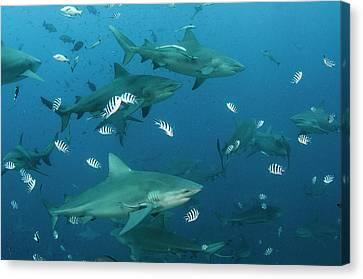 Bull Shark (carcharhinus Leucas Canvas Print by Pete Oxford