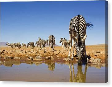 Burchells Zebras At Waterhole Namibrand Canvas Print by Theo Allofs